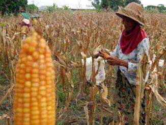 Larangan Tanam Jagung untuk Petani di Bima