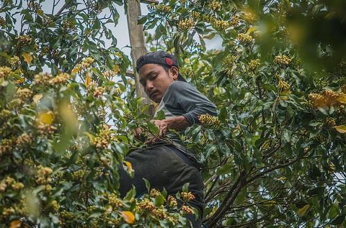 Nasib Buruk Petani Cengkeh di Maluku
